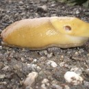banana slug photoshop contest